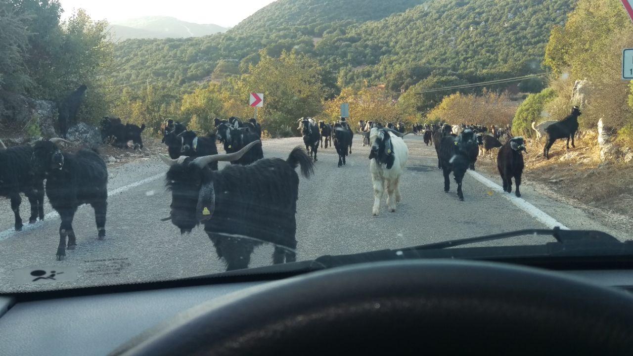 Autorijden in Turkije geiten op de weg