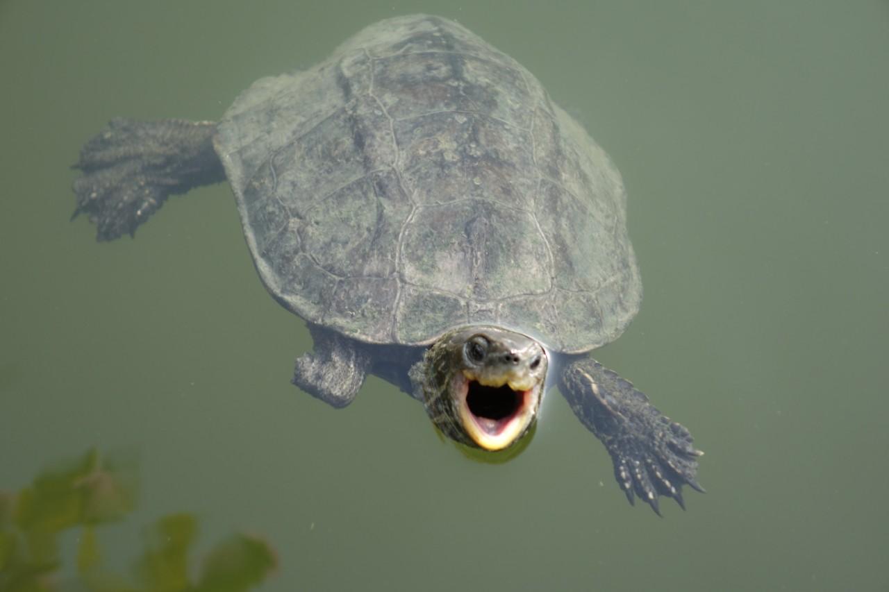Dalyan schildpad