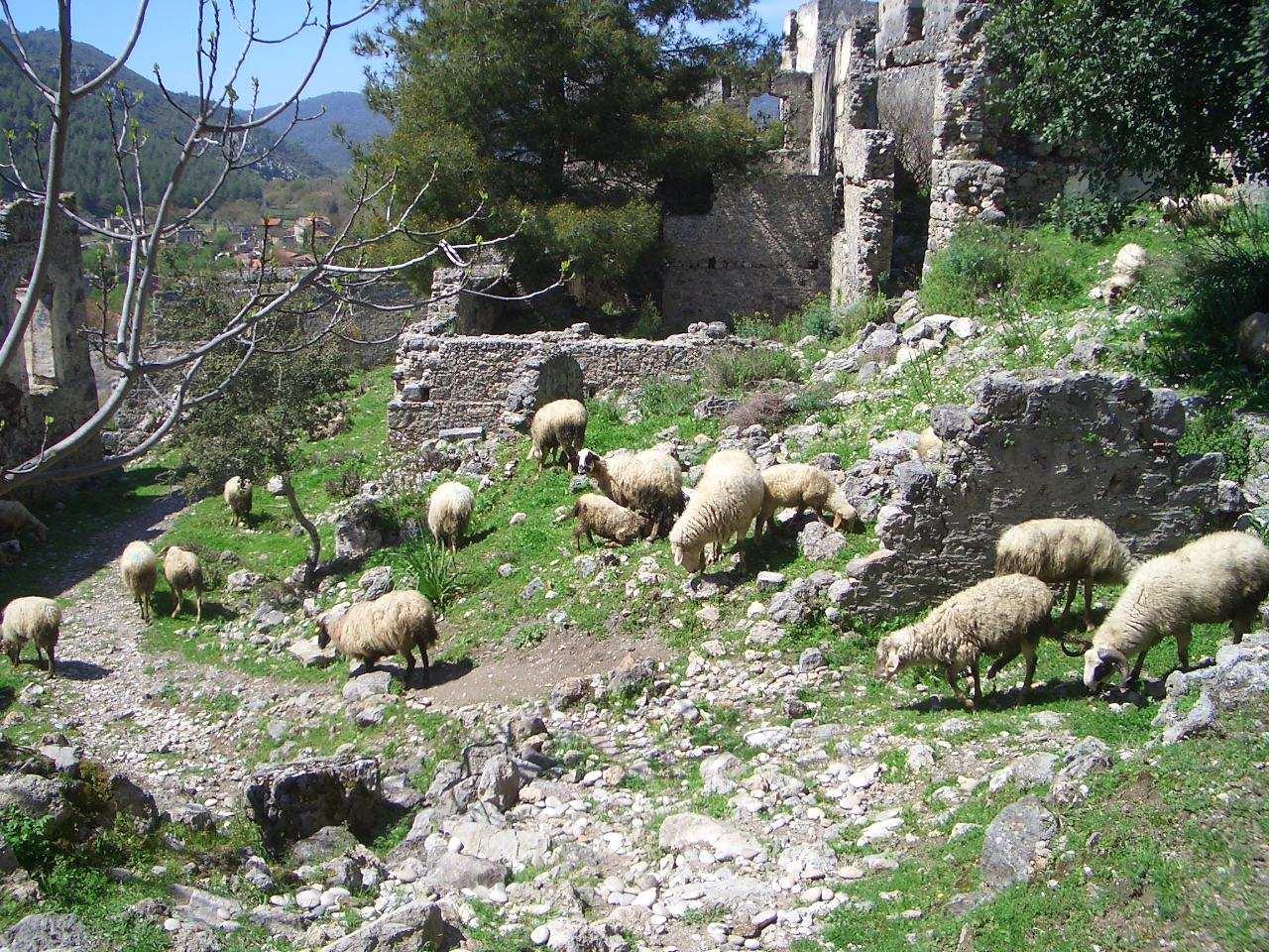 Lycian Way Kayaköy Levissi schapen