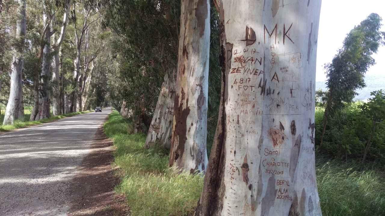 Rondreis Westkust Turkije Akyaka Gökova Eucalyptusweg