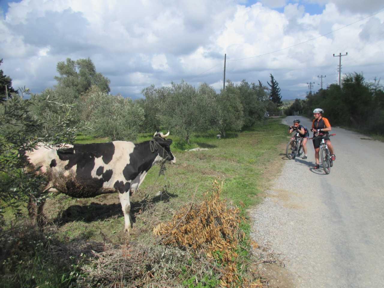 Bikefun Turkije koe fotograferen