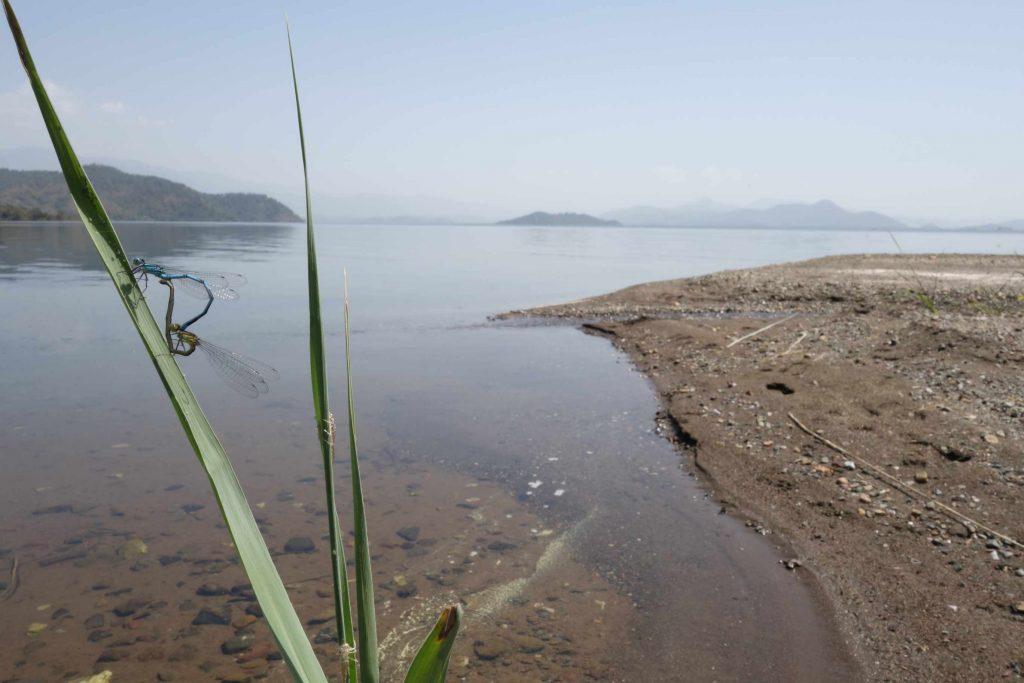 Parende libellen op een rietstengel  met uitzicht op Köycegiz meer