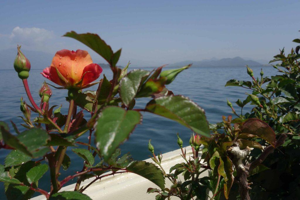 Oranjerode rozen aan boord van Summer garden botanic boat met Köycegiz meer op de achtergrond