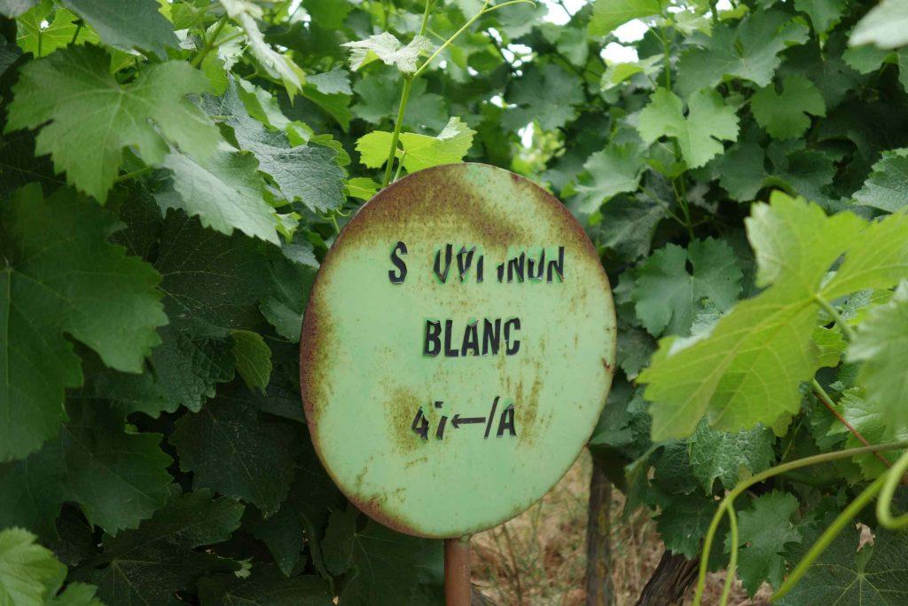 Druivenranken rond een groen rond bordje met de tekst sauvignon blanc in verweerde letters