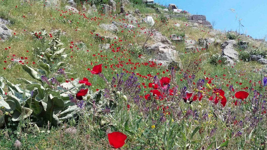 Klaprozen en andere kleurige bloeiende voorjaarsbloemen tussen ruïnes