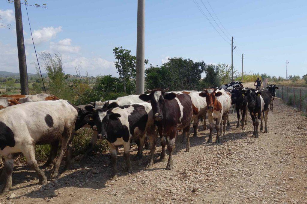 Kudde koeien op een pad in Turkije