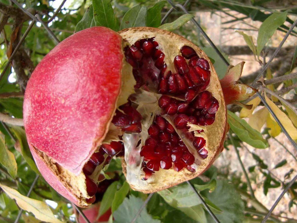 Een opengespleten rijpe granaatappel